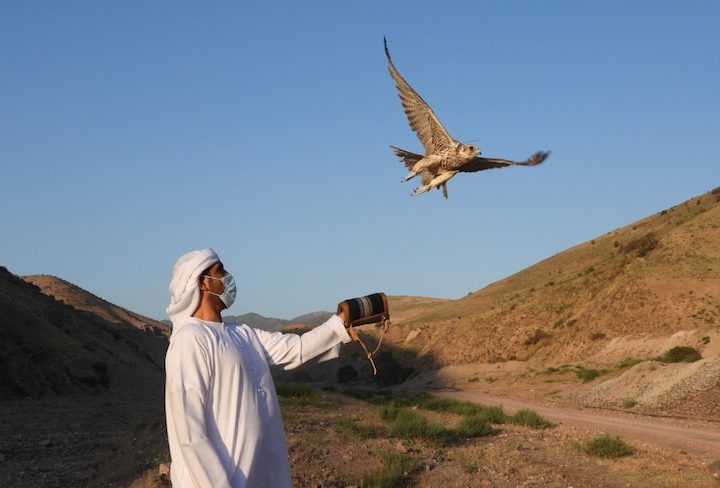 Sheikh Zayed Falcon Release Programme Marks its 25th Year with a New  Milestone | TheSustainabilist